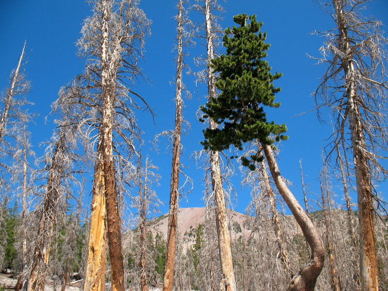Dead trees and survivor in the Ghost Forest, Horseshoe Lake.