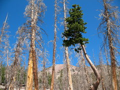 Rock Climbing Photo: Dead trees and survivor in the Ghost Forest, Horse...
