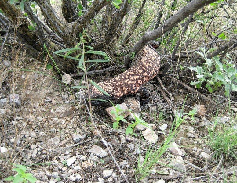 Rock Climbing Photo: Gila monster found on an approach near Sierra Vist...