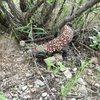 Gila monster found on an approach near Sierra Vista.