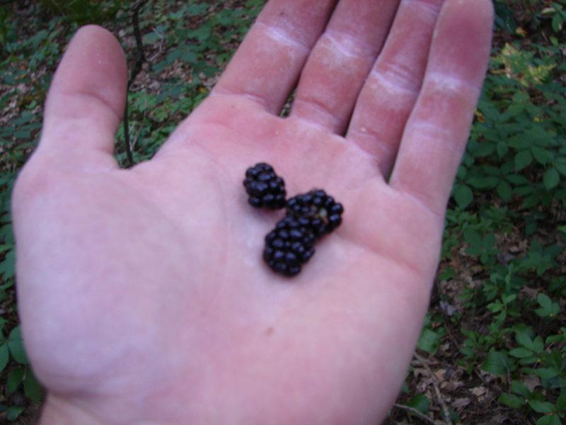 Blackberries are in. 8/6/08...