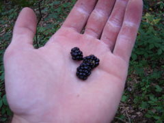 Rock Climbing Photo: Blackberries are in. 8/6/08...