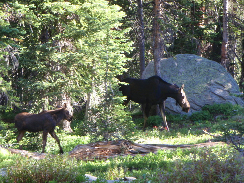 Moose at Watanga Lake RMNP