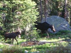 Rock Climbing Photo: Moose at Watanga Lake RMNP