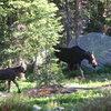 Moose at Watanga Lake RMNP