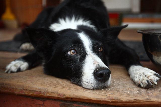 Peewee, Peter Croft's dog.