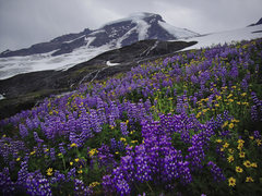 Rock Climbing Photo: August flowers at Mt. Baker.