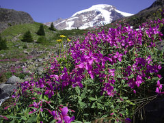 Rock Climbing Photo: August flowers from the approach to Mt. Baker.