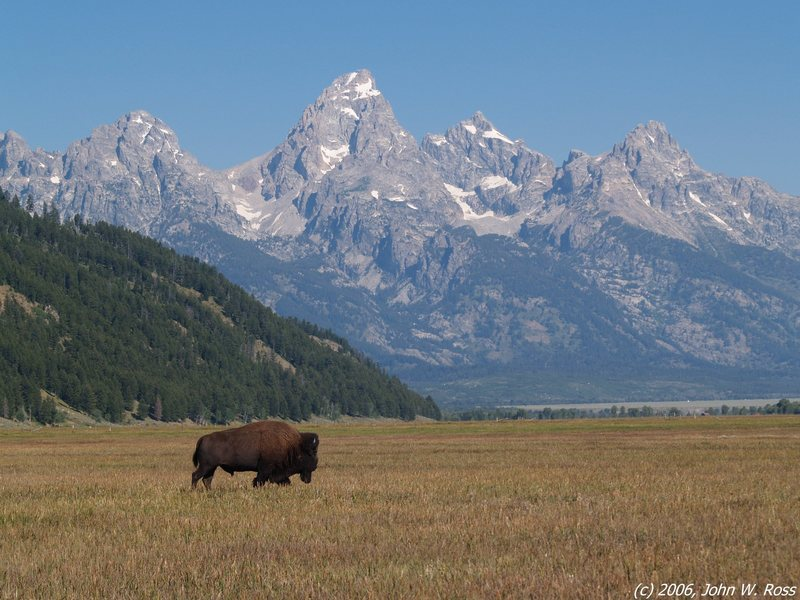 Bull bison on the plain below the Tetons.