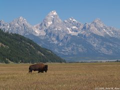 Rock Climbing Photo: Bull bison on the plain below the Tetons.