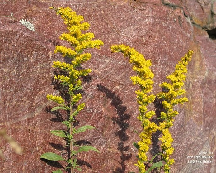 The top of Major Mass is an especially good place to find this little woodland golden rod in late summer.