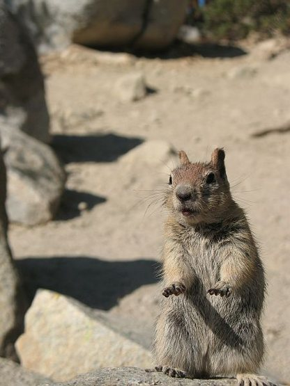 One of the locals, Mammoth Lakes Basin