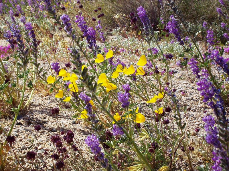 Wildflowers in Joshua Tree National Park