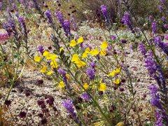 Rock Climbing Photo: Wildflowers in Joshua Tree National Park
