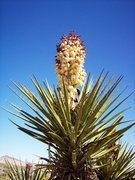 Rock Climbing Photo: Mojave Yucca (Yucca schidigera) near Pinkham Canyo...