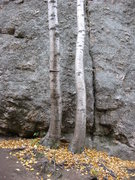 Rock Climbing Photo: The two small birch trees at the base of Old Peopl...