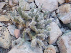 Rock Climbing Photo: Another desert cactus.