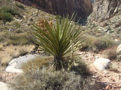 Rock Climbing Photo: A Monster yucca flourishes in the Red Rock desert.