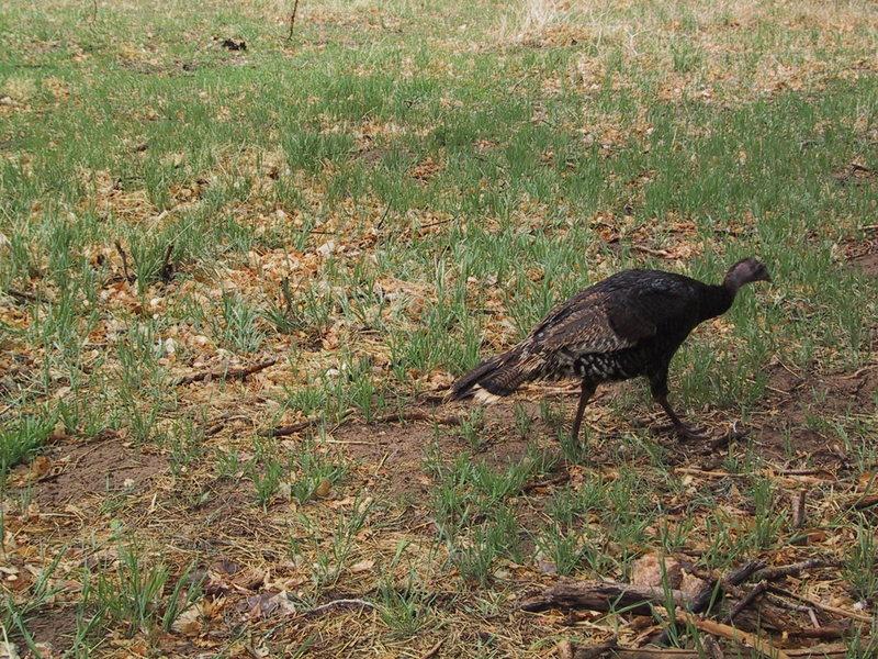 A local resident (wild turkey).