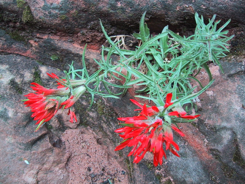 Rock Climbing Photo: Indian paintbrush on the way up Angel's Landing.