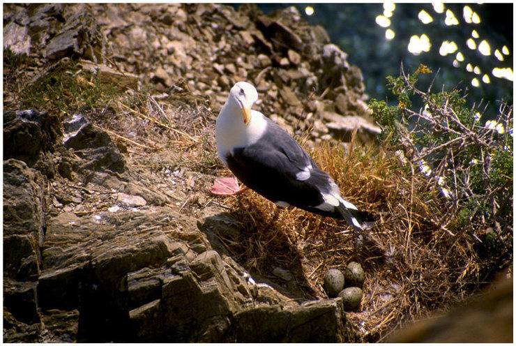 A Western Gull stands guard over a Central Coast crag.