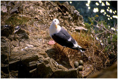 Rock Climbing Photo: A Western Gull stands guard over a Central Coast c...