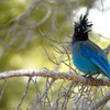 Stellar's Jay, Rocky Mountain National Park.<br> www.EarthworksImagery.com