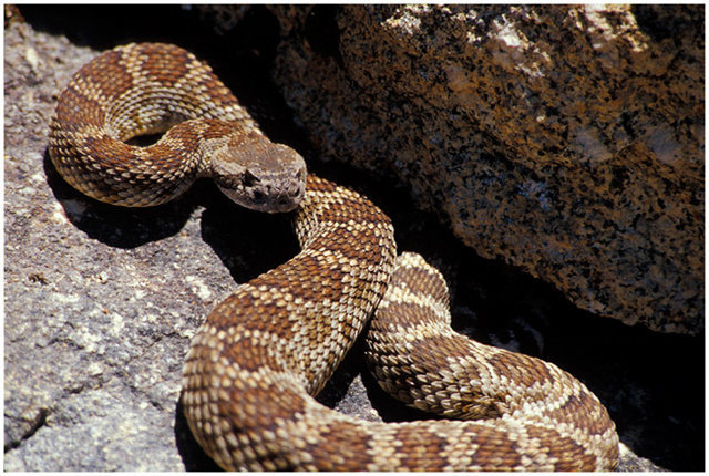 Rock Climbing Photo: Northern Pacific Rattlesnake, spotted near the Fir...
