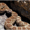 Northern Pacific Rattlesnake, spotted near the Fire lookout in the Needles, California