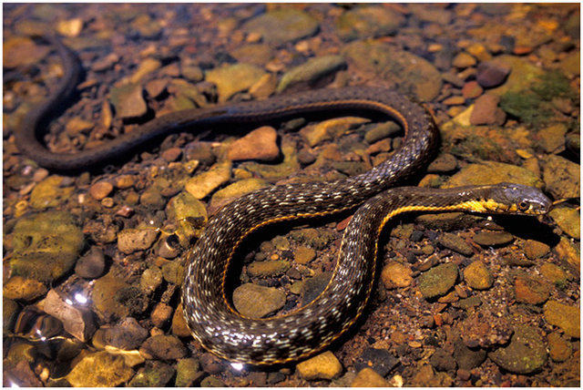 Aquatic, Two-Stripe Garter Snake. <br> <br> Photographed in the shallows of Sespe Creek at the base of the Black Wall.