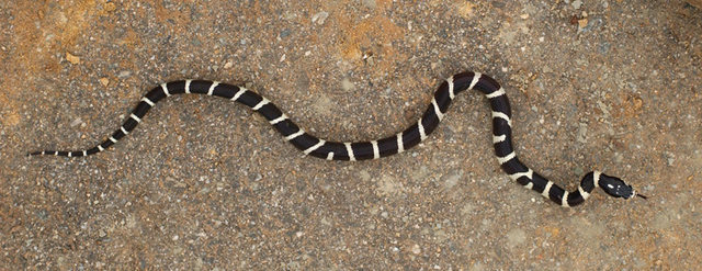 California Kingsnake, photographed in San Ysidro Canyon--just one more extraordinary reason to visit this spectacular Canyon.