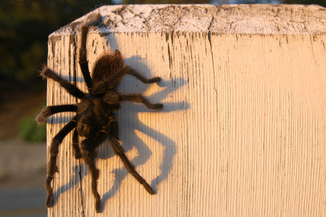 Rock Climbing Photo: Tarantula, photographed on a climbing outing in Sk...