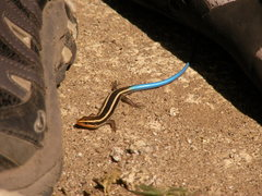 Rock Climbing Photo: super fast blue tail skink that gave me about 2 se...