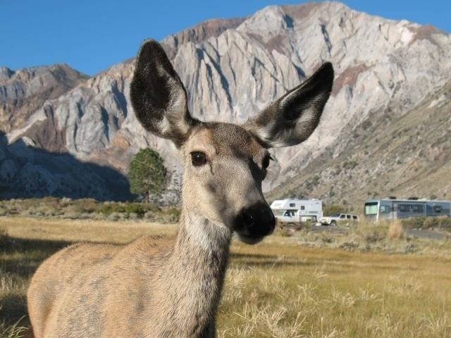 Rock Climbing Photo: Curious deer at Convict Lake CG, Sierra Eastside