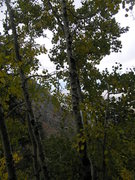 Rock Climbing Photo: Aspens growing at the base of the route.