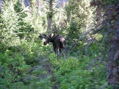 Rock Climbing Photo: moose. Grand Teton, NP