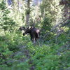 moose. Grand Teton, NP