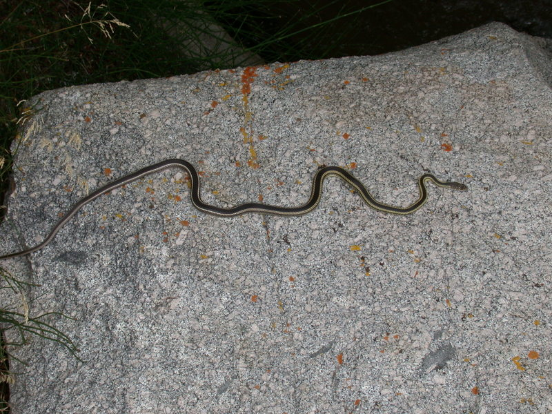 Rock Climbing Photo: Four foot long garter snake. This guy looked well ...
