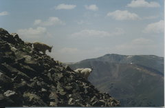 Rock Climbing Photo: Mountain goats.