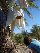 Rock Climbing Photo: China Ranch Date Farm  Holly looking up the dates ...