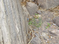 Rock Climbing Photo: Unusual climber:  Look closer