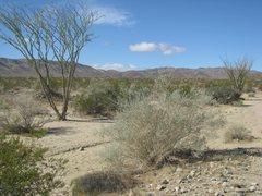 Rock Climbing Photo: Leafing Ocotillo (Fouquieria splendens) in Pinto B...