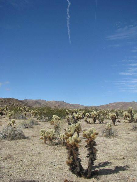 Rock Climbing Photo: Cholla cactus (Opuntia genus)