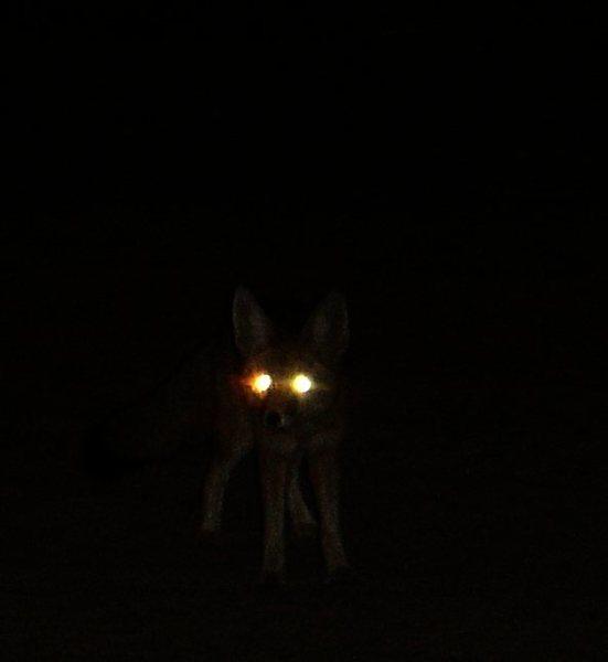 Rock Climbing Photo: Gray Fox in the Mojave National Preserve.  Taken o...