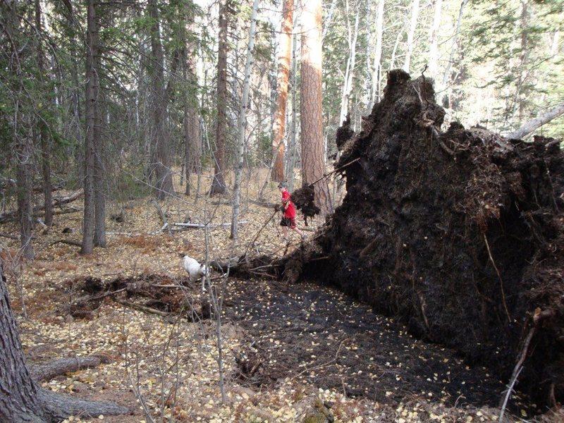 Rock Climbing Photo: Wind damaged trees near the base of The Love Knob ...