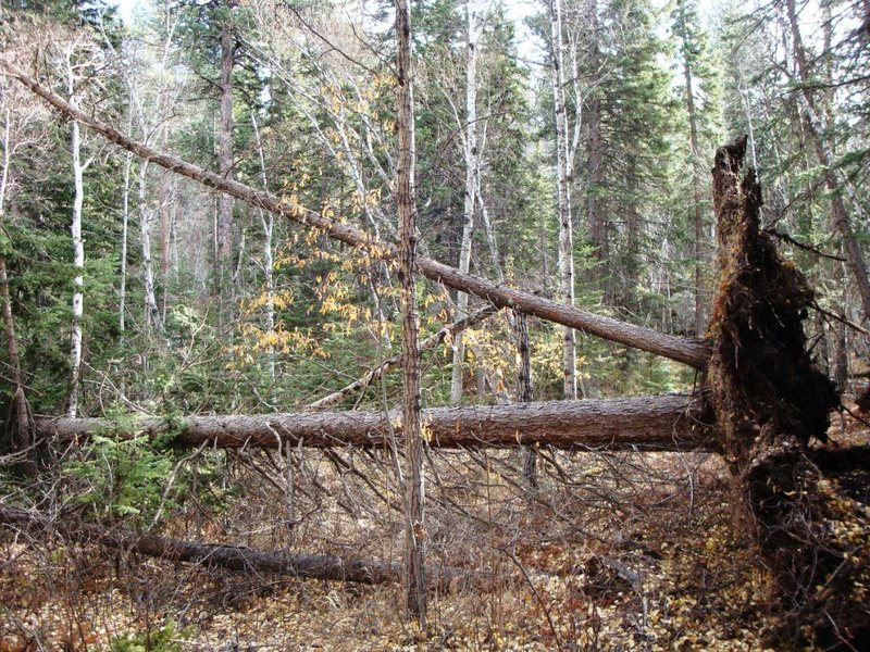 Rock Climbing Photo: Another perspective of wind toppled trees near Lov...