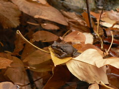 Rock Climbing Photo: Frogs enjoy hanging out at the spring near the bas...