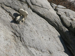Rock Climbing Photo: Heeey Goat!