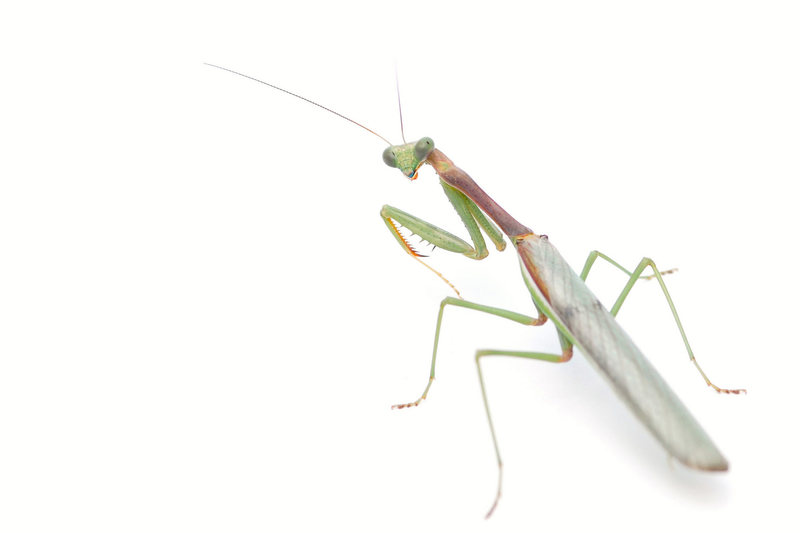 Has anyone noticed the crazy abundance of Praying Mantis this year in Southern California?  This one's a male.