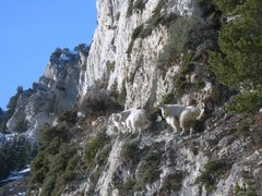 Rock Climbing Photo: Goats at Hellgate WEAR Helmets